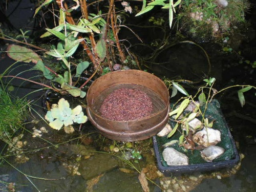 Que mange l 39 crevisse astacus astacus elle est omnivore - Que mange les punaises ...