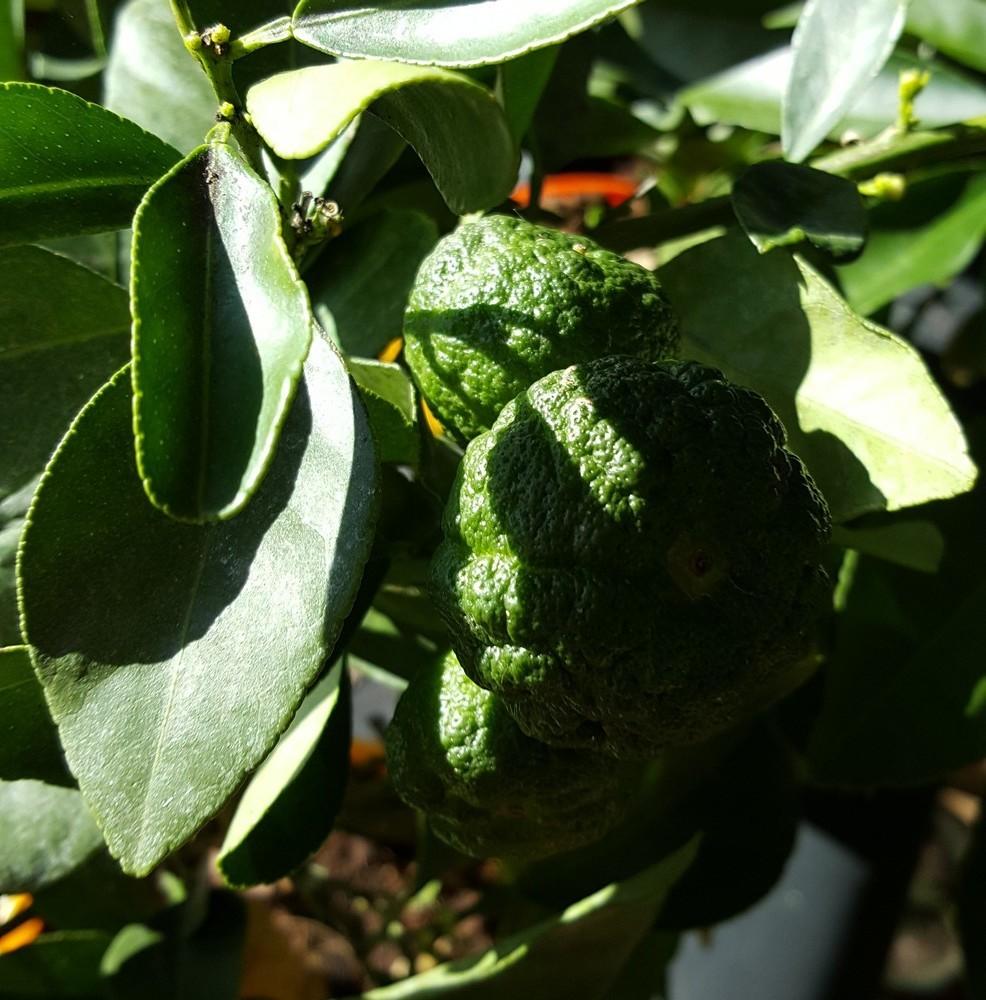 """Variétés d'agrumes : citronnier """"Pursha"""" ou """"Limette douce de Rome""""..."""
