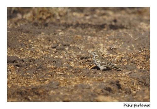 Oiseaux des champs