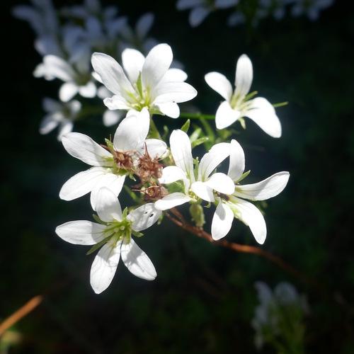 Saxifrage faux géranium