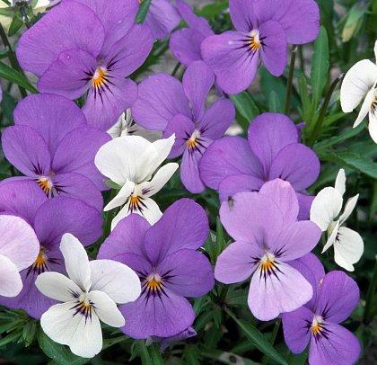 Un délicieux parfum de violette