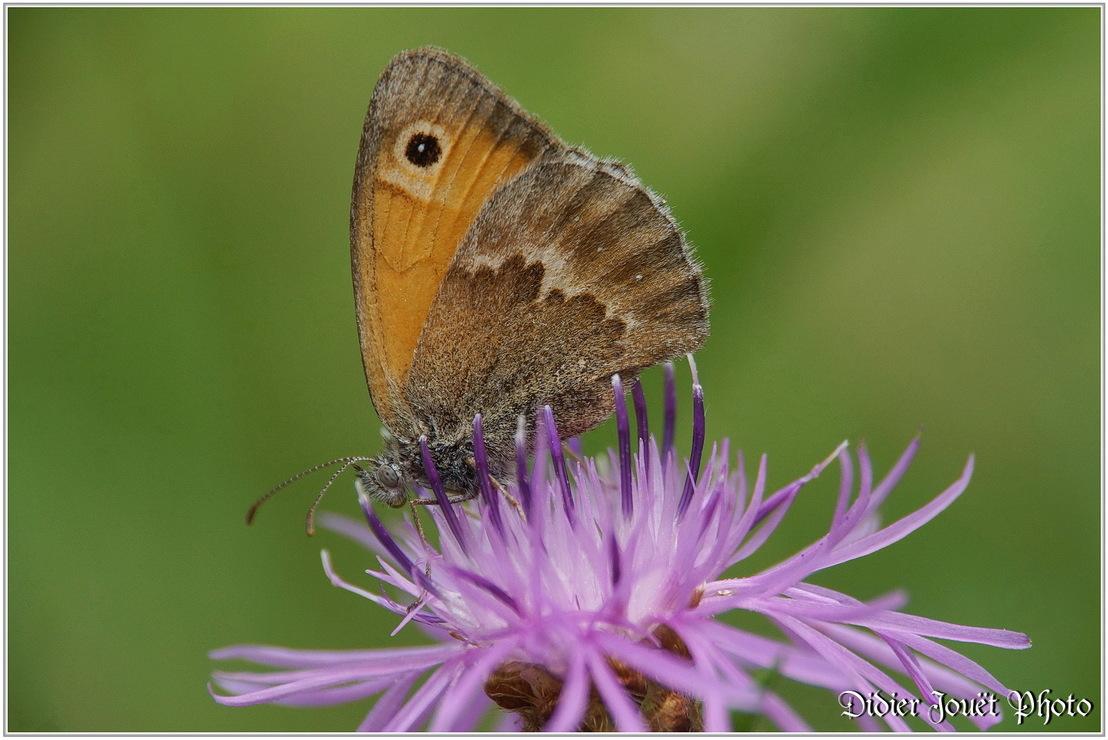 Procris / Coenonympha pamphilus