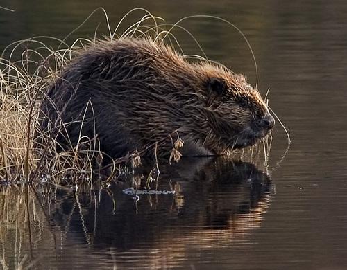 Des castors en Angleterre pour faire face aux inondations