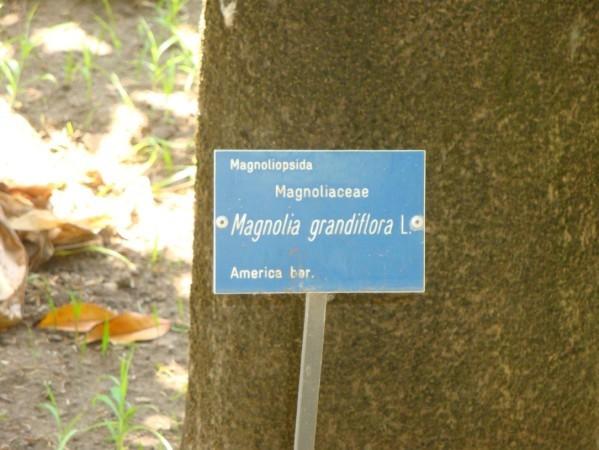 Palerme, Jardin botanique, Magnolia Grandiflora 1