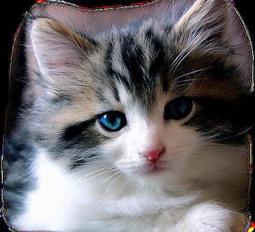 Tubes chaton