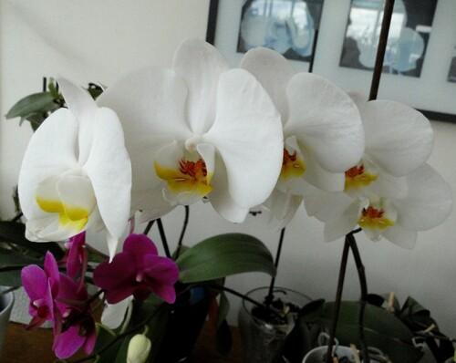 Orchidées ornementales 1
