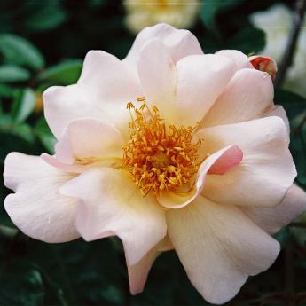Petite rose ...