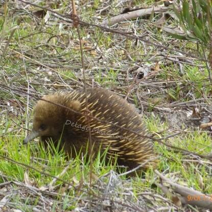 Echidnea - Tasmanie - 9 Octobre 2013