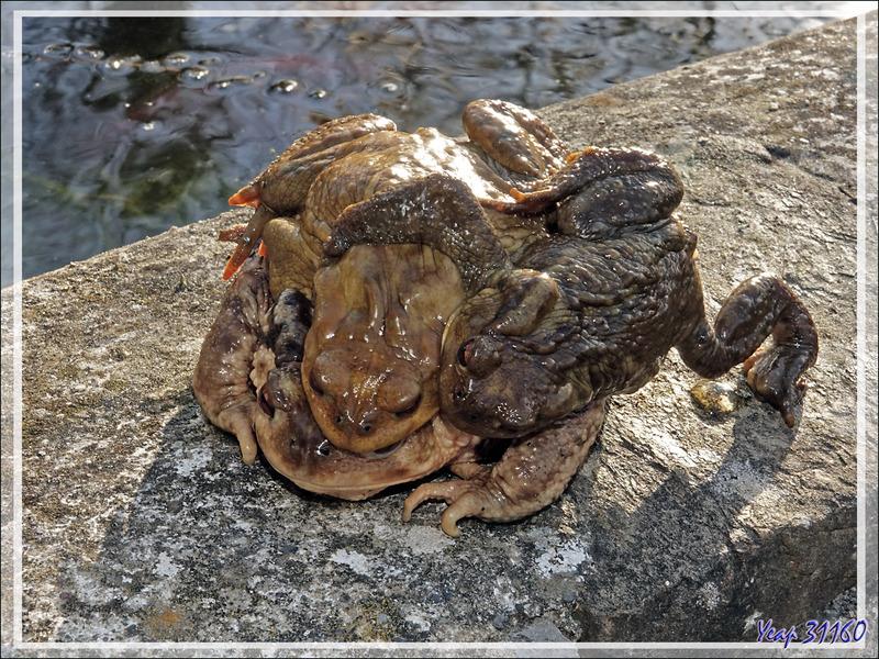 Partouze chez les Crapauds communs (Bufo bufo) - Lartigau - Milhas - 31