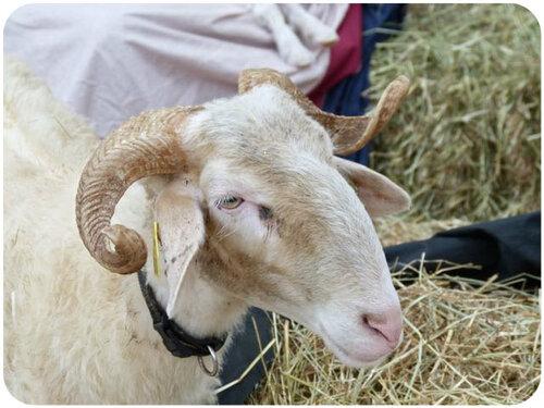 Moutons basques !