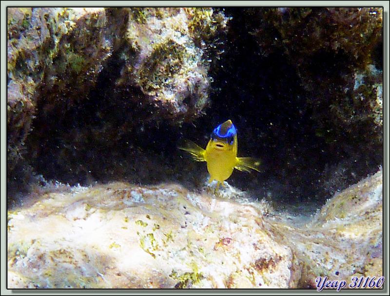Snorkeling dans le lagon de la pension Raira Lagon : Demoiselle de Brownrigg - Rangiroa - Polynésie française