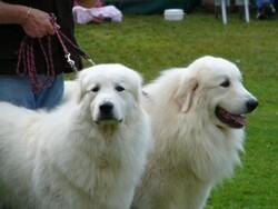 Fête des chiens des pyrénées