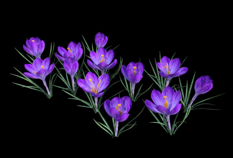 Image de massif de crocus (render-tube)