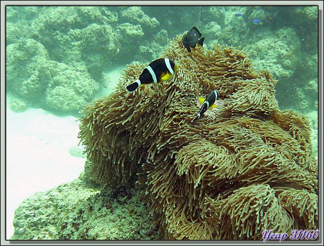 Poisson-clown de l'île Maurice ou Poisson-clown à 3 bandes, Mauritian clownfish (Amphiprion chrysogaster) - Plongée à l'île Maurice