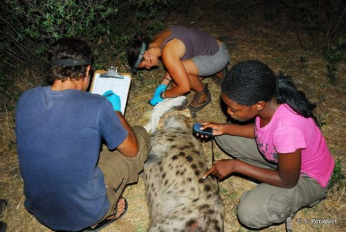 Changing a GPS collar on a hyaena