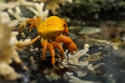 Crabe de Clipperton, source : zoodujardindesplantes.fr