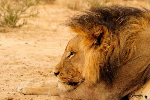 Black manes of the Kalahari, Kgalagadi NP