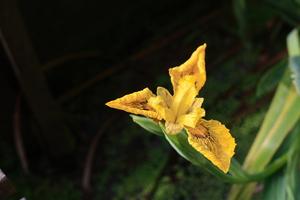 iris speudacorus