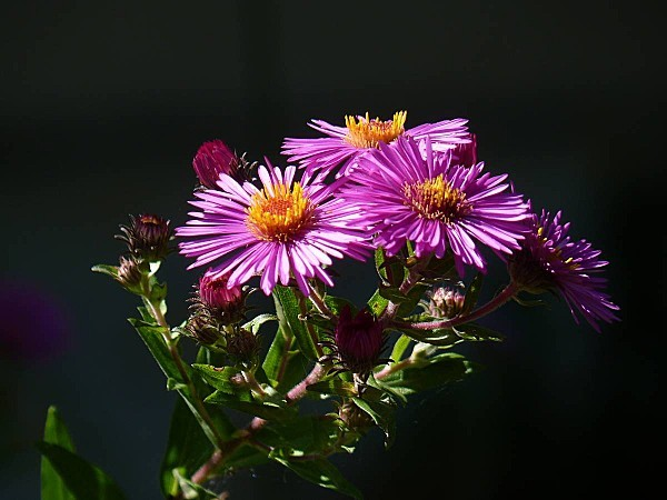 Aster 20-09-010