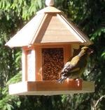 Grünfink am Futterhäuschen