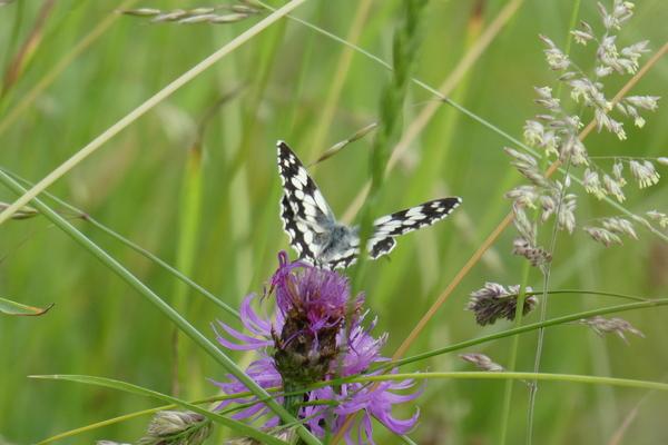 Les papillons : blanc et noir, noir et blanc....