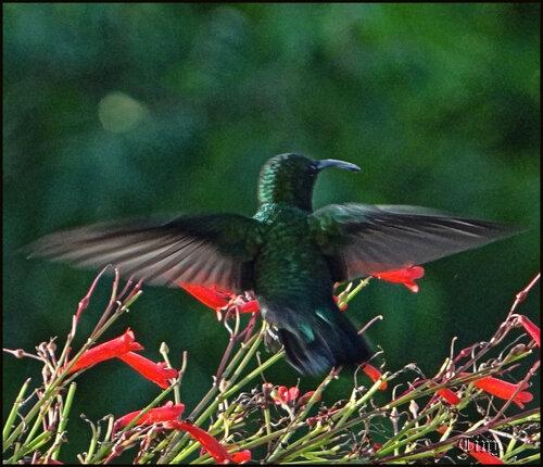 Oiseaux de Guadeloupe ; le colibri