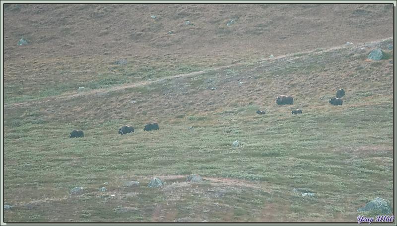 Bœufs musqués - Kangerlussuaq - Groenland