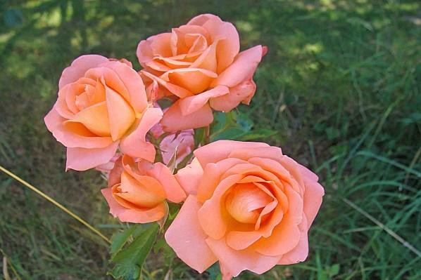 DSC00655-roses.jpg
