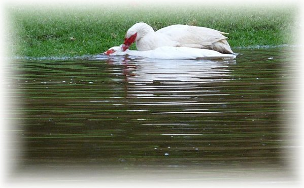 canards-blanc.jpg