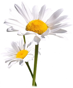 Tube Marguerites