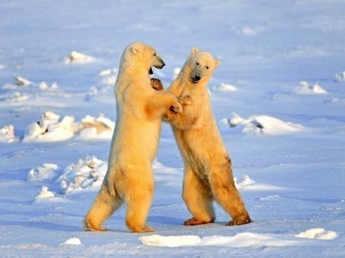 Ours polaires : images magnifiques du Canada