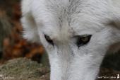 Loup de Mackenzie