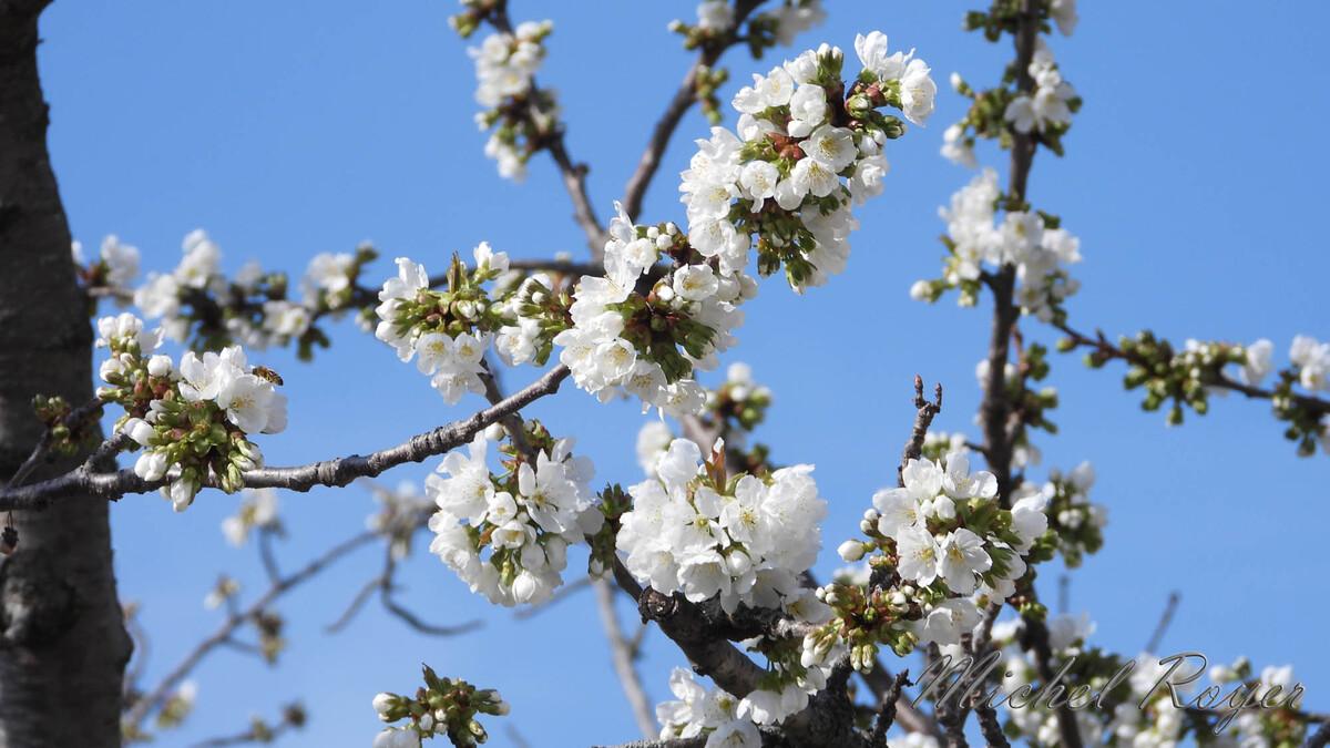 Cerisier et ses habitués.