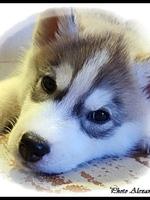 Kira (57 jours, chez ses nouveaux propriétaires))