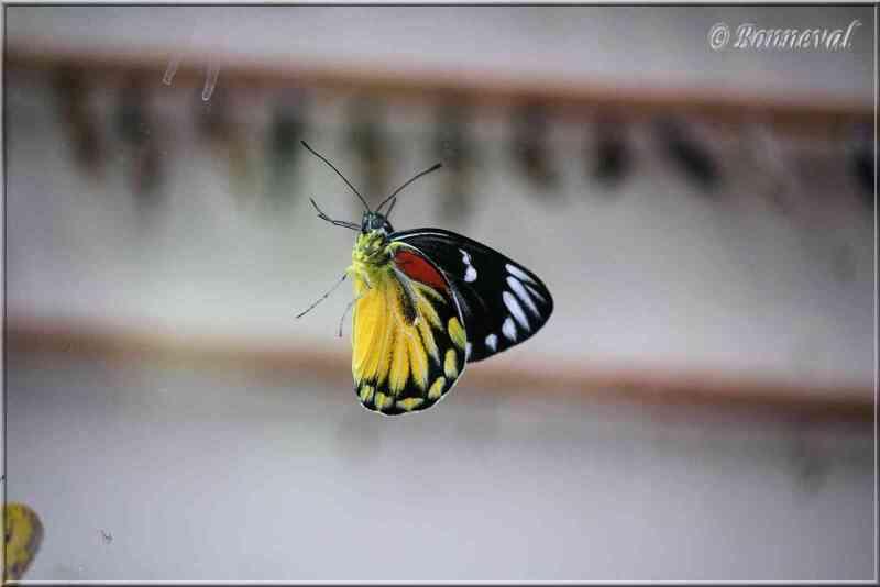 Papillons tropicaux Delias descombesi eranthos Pieridae