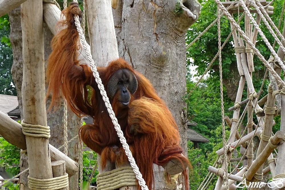 Ujian, mâle orang-outang (papa de sari et compagnon de Berani ,voir art.préc.)