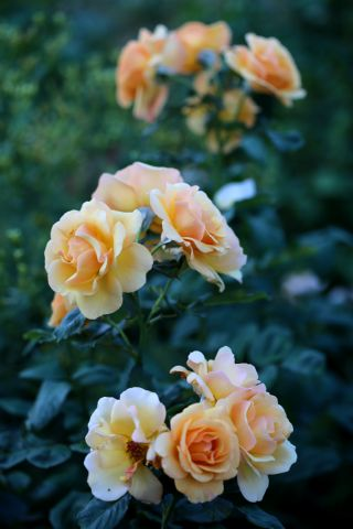Les Roses de Warren : Golden Pleasure