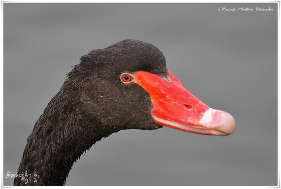 Cygne noir - Cygnus atratus - Black Swan