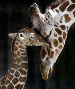 Les girafons