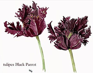 tulipes Black Parrot