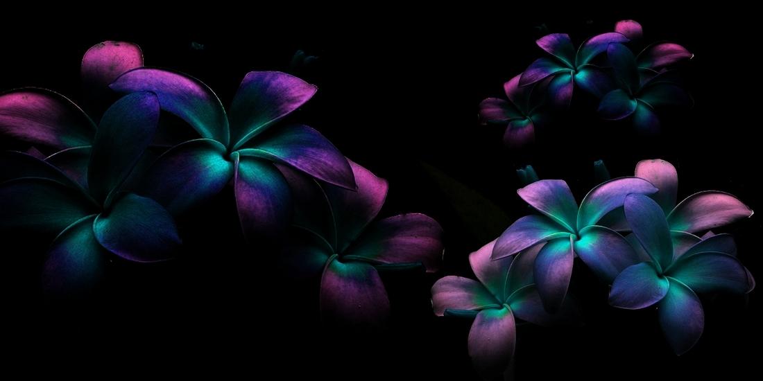 Grands fonds noir, fleurs de frangipannier 1