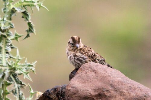 Moineau Soulcie (Rock Sparrow)