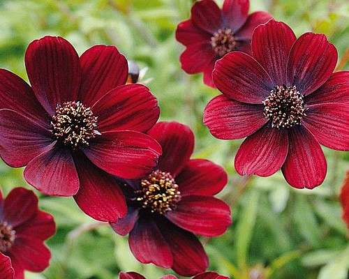 Fleurs cultivées : Cosmos