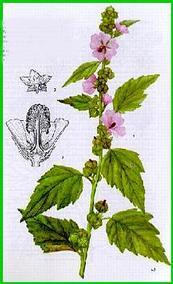 la guimauve : phytothérapie