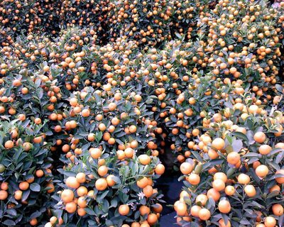 mandariniers