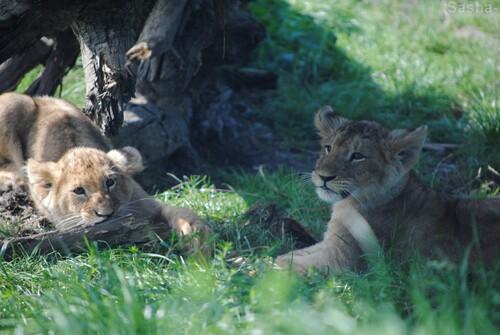 (14) Les petites princesses lionnes.