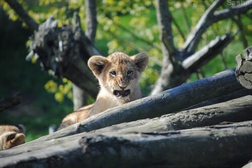 (25) Les petites princesses lionnes.