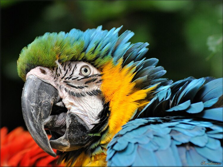 Photo de Ara Ararauna du Zoo de Pessac