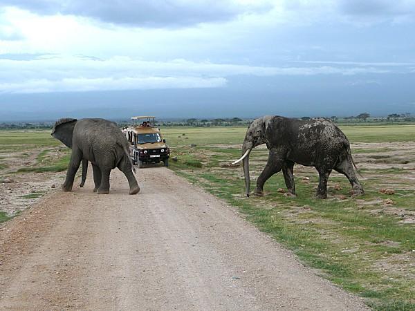 Eléphants traversent piste