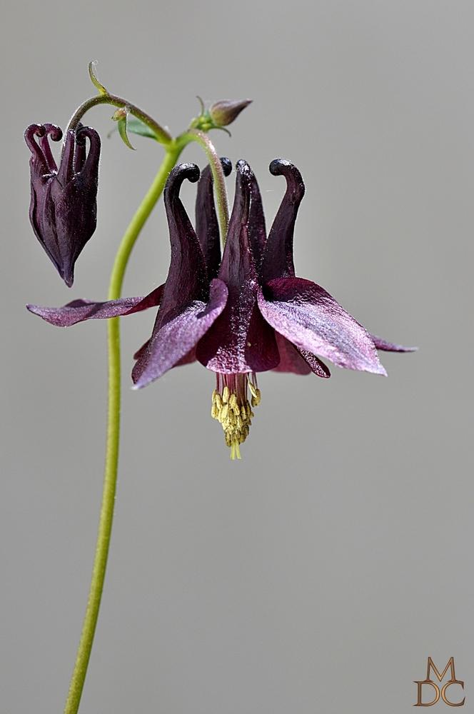 Ancolie noirâtre